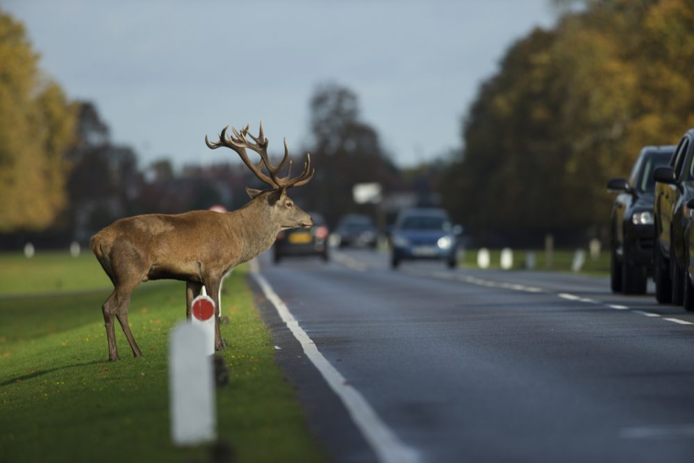 Avoid Hitting a Deer 2